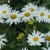 Ромашка садовая, выращивание