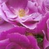 Розы флорибунда, сорта, группы, агротехника