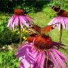 Рудбекия — солнечный, яркий цветок для любого сада