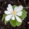 Сангвинария - редкая декоративная садовая культура, условия произрастания, использование в дизайне сада