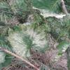 Саженец винограда: белеют и высыхаю листья после покупки