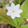 Седмичник - красивый цветок, условия произрастания