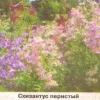 Схизантус, неприхотливые цветы и уход за ними