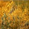 Сидерат из овса для получения высокого урожая