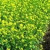 Сидераты осенью сажают, как супер удобрение