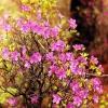 Скажите , а что за растение рододендрон ? Или это может быть кустарник ?