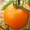 Сорт томата «подарок феи»: описание и урожайность, достоинства и недостатки помидоров, подверженность вредителям