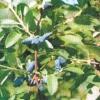 Сорта жимолости, рекомендуемые для уральского сада
