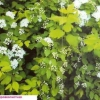 Спирея в дизайне сада, виды спирея, сорта спиреи