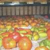 Способы хранения свежих помидоров, лучшие сорта для хранения