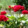 Способы размножения розы