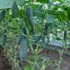 Строим теплицы для огурцов своими руками: особенности выращивания круглый год