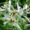 Сушеница болотная или сушеница топяная, её лечебные свойства