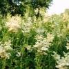 Таволга вязолистная (filipendula ulmaria), условия произрастания, использование в дизайне сада