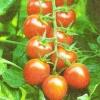 Томаты черри, условия их выращивания в домашних условиях, режим питания и освещения