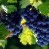Удобрения для хорошего роста и развития кустов винограда