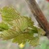 Весенняя прививка винограда