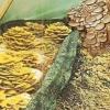 Вёшенка на опилках, агротехника выращивания грибов