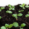 Выращивание цветочной рассады дома