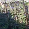 Выращивание ипомеи на бедных грунтах