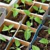 Выращивание рассады. Тонкости и секреты