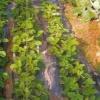 Выращивание земляники из семян, закладка плантаций, преимущества и недостатки семенного размножения