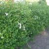 Живая изгородь из спиреи ниппонской - красота неописуемая