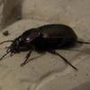 Жужелица - полезный садовый хищник, сохранение полезных насекомых в саду