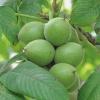 Грецкий орех в народной медицине, народные рецепты
